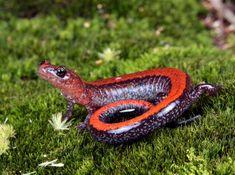 salamanders - Google Search