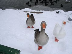 Reminds me of Phoebe and Felix, my two gray geese...  Geese at Veteran's Park, Klamath Falls, OR