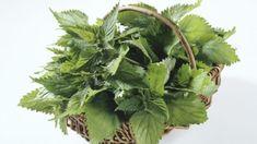 Chcete sa dostať čo najskôr do formy? Rozbehnite sa do prírody po žihľavu… Korn, Herbs, Vegetables, Health, Green, Plants, Gardening, Medicine, Herbal Medicine
