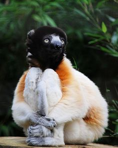 "Sifaka - a lemur from the family Indriidae within the order Primates. The name of their family is an onomatopoeia of their characteristic ""shi-fak"" alarm call. Like all lemurs, they are found only on the island of Madagascar."