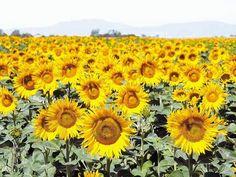 O directivă a UE ar putea îngropa producţia de porumb, floarea-soarelui şi rapiţă, susţine Ministerul Agriculturii | Ziarul Financiar