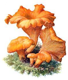 Chanterelle (Cantharellus cibarius)    Albin Schmalfuss, from Führer für Pilzfreunde (The mushroom lover's guidebook) vol. 1, by Edmund Michael, Zwickau, 1901.