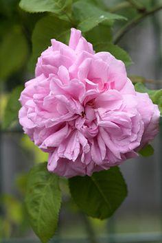 Gros Chou de Hollande est un très beau rosier Bourbon, assurément une vieille variété dont on ignore l'origine et l'année de création. Il est vigoureux, rustique et a un feuillage sain, bien résistant aux maladies. Ses fleurs sont très doubles, bien pleines, d'un rose moyen très doux, au parfum à la fois délicat et puissant. Rosier en principe remontant, mais la remontée est capricieuse. Arbuste de 2 m x 1.50 m. Bourbon.