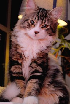 "Mix between Norwegian forest cat and Main Coon. He has a little marking under his chin that looks like a bow-tie, therefore ""Sir"""