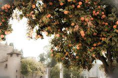 Orange Tree (experimental). Naranjo junto a El Pimpi, en calle Alcazabilla, Málaga. By @noonebutpi.