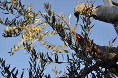 Olivi  cultivar Moraiolo, Leccino e Frantoio