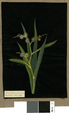 Sparganium Ramosum, from an album (Vol.IX, 29); Branched Bur-reed Collage of coloured papers, with bodycolour and watercolour, on black ink background, Mary Delany (1700-1788)