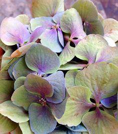 Hortensia Hydrangea, Hydrangea Flower, Exotic Flowers, Beautiful Flowers, Hydrangea Painting, Flower Artists, Macro Flower, Flower Pictures, Pansies