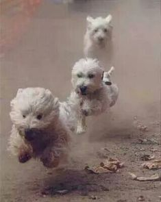 #WestHighlandTerriers on the go
