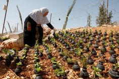 Palestinian lady collects gas bombs fired by Israeli army. She grows flowers in these bombs.