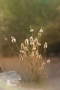 Golden hour photography of grasses at sunset. Get golden hour photography tips on the blog - click through.