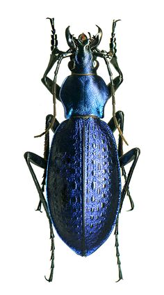 Coptolabrus smaragdinus yanggangensis, male, N. Cool Insects, Flying Insects, Bugs And Insects, Beetle Insect, Insect Art, Cool Bugs, Blue Beetle, Beautiful Bugs, Fauna