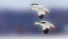 If you are a hermit and did not leave your house in the Saint Charles area the past couple of weeks, you may have missed the invasion of snow geese that flocked in by the thousands. This time of year (March through April), there are tens of thousands of Snow Geese moving through an area.…