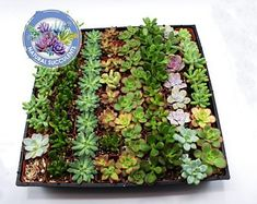 200 Assorted Succulents Collection in pots- Wedding favors - bulk succulents - wholesale succulents - mini succulents Succulent Wedding Favors, Succulent Gifts, Wholesale Succulents, Colorful Succulents, Baby Favors, Personalized Bridesmaid Gifts, Plants, Etsy, Collection