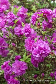 These Rhododendrons and Azaleas are evergreen plants with beautiful flowers. From PJM Rhododendron to Encore Azaleas, find the best varieties for your shade garden.