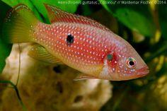 """Biotop-Aquaristik Westafrika: Foto des Tages - Hemichromis guttatus """"Cotonou"""" We..."""