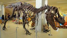 1280px-Yamanashigakuin_elementary_school_Tarbosaurus.JPG (1280×725) - T bataar. Dinosauria, Saurischia, Theropoda, Tyrannosauroidea, Tyrannosauridae, Tyrannosaurinae. Auteur : Sakaori, 2010.