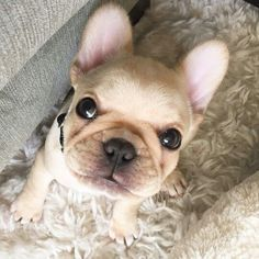 """Happy Saturday"", French Bulldog Puppy ❤ ™ @mooosetracks"