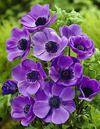 Kruunuvuokko lila