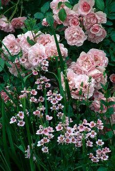 ROSA 'BONICA' WITH DIASCIA VIGILIS MEADOW PLANTS, BERKS.