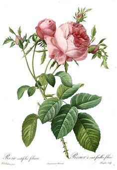 Rosa centifolia e Rosa Damascena in Aromaterapia, Ricette e riflessioni