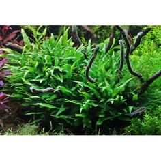 Java Ferns are perfect low tech plants for midground and background with very little demand for light, or fertiliser.