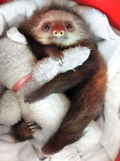 Baby Sloth With His Teddy Bear