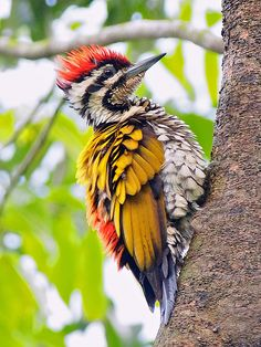 Flameback Woodpecker ♥ ♥