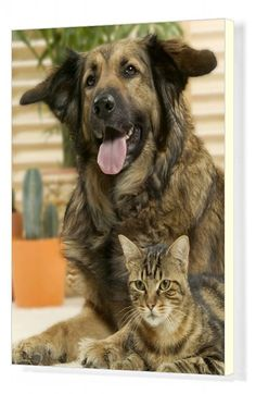 20x16 inch (51x41cm) ready to hang Box Canvas Print. Pet dog and tabby cat (Canis familiaris) Mixed species of pets snuggling up together. . Image supplied by Auscape Photo Library. Product ID:12069590_7046_367 Pet Dogs, Dog Cat, Pet Pet, Doggies, Thing 1, Mans Best Friend, Fleas, Snuggles, Animales