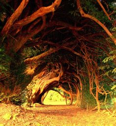 The Yew Tunnel, planted during the 18th century by the Dyer family in Llangathen, Carmartenshire, UK