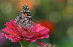 Red Zinnia has a little visitor by kerbla edzerdla on 500px
