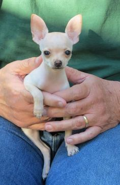 Effective Potty Training Chihuahua Consistency Is Key Ideas. Brilliant Potty Training Chihuahua Consistency Is Key Ideas. Teacup Chihuahua Puppies, Cute Chihuahua, Cute Puppies, Cute Dogs, Baby Dogs, Doggies, Labradoodle, Little Dogs, Cute Baby Animals