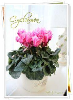 Cyclamen flower.