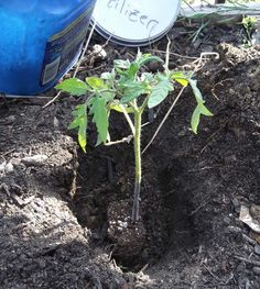 To try: Monster Tomato Fertilizer Recipe * doz. Crushed Egg Shells * 2 cups Bone Meal * cup Epsom Salts * 14 Crushed Aspirin ~ natural rooting hormone * cup of this Mix ~ Add to Bottom When Planting Tomats Tomato Garden, Veg Garden, Edible Garden, Lawn And Garden, Garden Plants, Vegetable Gardening, Garden Tomatoes, Growing Tomatoes, Growing Vegetables