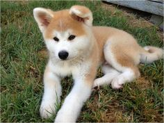 Hokkaido Dog - - Tap the pin for the most adorable pawtastic fur baby apparel! You'll love the dog clothes and cat clothes! Akita Puppies, Akita Dog, Cute Puppies, Dogs And Puppies, Japanese Akita, Japanese Dogs, Hokkaido Dog, Japanese Dog Breeds, Pet Dogs