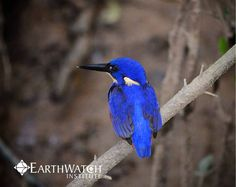 A beautiful blue Kingfisher spotted on the Daintree's Hidden Coastline expedition #ilovenature help us protect this beautiful world <3  #Biodiversity #Climateaction  #Environment #Conservation #Australia #Explore #earthling #earth #forager #climate #blue #bluebird #adventures #adventure #hiker #adventurer #travel #trip #roundtheworld #solotravel #kingfisher #birds #animals #daintreerainforest #Rainforest  #earthwatch