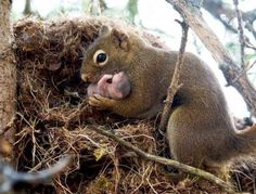 .A drey is the nest of a squirrel, usually built of twigs and branches that are typically assembled in the forks of a tall tree. The finished drey is a hollow sphere, about a foot or more in diameter, with branches and other materials loosely woven on the outside and an inner surface lined with a variety of finer materials, such as grass, moss, and leaves. Adult squirrels often build two dreys so they have an option if one is disturbed.