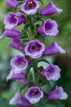 Foxgloves. I have a love of trumpet-shaped flowers . . .