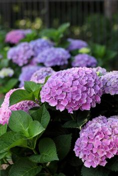 2.) Change the color of your hydrangeas.