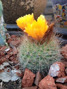 My orange cactus flower