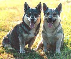 Swedish Vallhund. It's a little wolf! I want one!(: