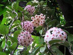 โฮย่า - ให้ปุ๋ยกล้วยไม้กับน้องโฮยาค่ะ สูตร 21-21-21 สลับกับสูตรเร่งดอก 10-52-17 คะ สลับกันอาทิตย์ละครั้ง ดูน้ำอย่าให้แฉะเกิน Plants, Garden, Tree, Hoya Plants, Trees To Plant, Flowers, Backyard