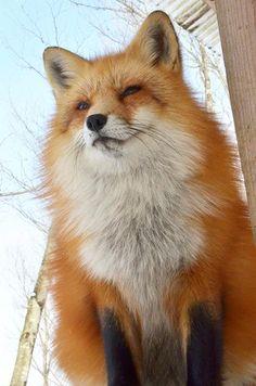 キツネ村に行ったときの写真と動画 まとめ - Togetterまとめ Animals And Pets, Baby Animals, Funny Animals, Cute Animals, Wild Animals, Pet Fox, Most Beautiful Animals, Fox Art, Animal Sketches
