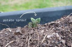 DIY garden - for lots of info on how to build a garden, visit this link. My first potato sprout! want to learn how to grow potatoes in your backyard? - click on link for how to and plans. gotta love yukon gold potatoes grown in your backyard!