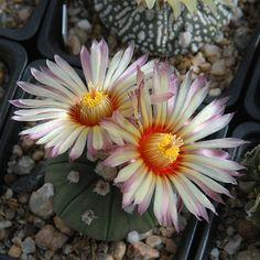 Astrophytum asterias v. nudum cv. Rainbow Flower