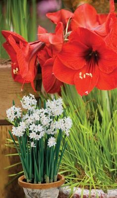 How to Force Paperwhite and Amaryllis Bulbs for Christmas Blooms / Pike Nurseries