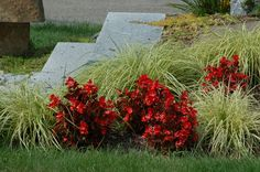 Ribbon grass would work well here as the companion to the red begonias. However, ribbon grass tends to be invasive. An alternative -- although you'd have to install your planting in shade -- would be variegated Japanese sedge, which you can read about in this helpful resource: http://landscaping.about.com/od/ornamentalgrasses/fl/Carex-Spark-Plug-Variegated-Japanese-Sedge.htm