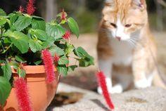 """Kissanhäntä on kaunis kesäkukka valoisalle tai puolivarjoisalle kasvupaikalle. Kirkkaanpunaiset """"hännät"""" ovat pörröisiä ja hauskoja katseltavia. Cats, Animals, Gatos, Animales, Animaux, Animal, Cat, Animais, Kitty"""
