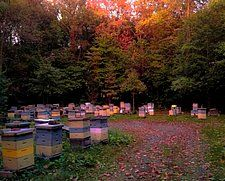 Fall sun setting over Russian Honeybee breeding yard