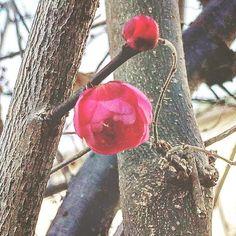 【megurikurumono】さんのInstagramをピンしています。 《「春隣」はるとなり Nearly spring = Haru tonari (This flower in this picture is Ume blossom.) この頃の皆さんの梅の花のpostにほっこりしながら、うちの庭の紅梅と裏庭の白梅が咲かないか、待ち続けた毎日😌寒さが緩んだように思えた今朝、紅梅が一輪開きかけていました💕 季語は、春がそこまで来ていることを知らせてくれています✨ みなさま、良い週末を😊 #俳句 #haiku #花 #flower #blossom #bloom #自然 #nature #景色 #view #landscape #植物 #plants #botanical #樹木 #trees #forest #森林 #日本 #japan #japanese_culture #flowerlovers #naturelovers #季語 #seasons_words #splendid #冬 #winter #庭 #garden》